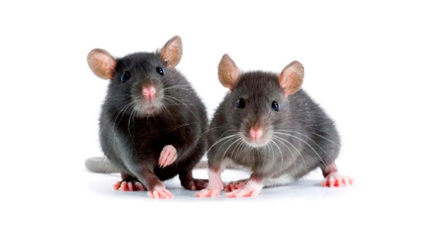 Desratizaci n eliminar ratas acabar con las ratas en ja n - Acabar con la carcoma ...
