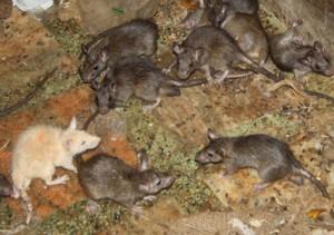 Acabar con las ratas