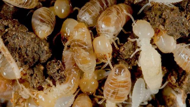 FUMIRREL implanta en sus actuaciones las directrices de la nueva norma UNE 56418:2016 que regula los protocolos de trabajo en cascos urbanos afectados por termitas subterráneas.