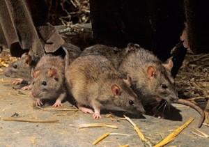 Eliminar ratas en Jaen